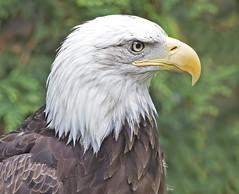 American Pride (zarb67) Tags: americanbaldeagle baldeagle eagle pride americanpride birdsofprey raptors avian canon 1dxmarkll ef100400mmf4556lisii toledozoo portrait