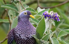 African Olive Pigeon  (Columba arquatrix) (Ian N. White) Tags: africanolivepigeon rameronpigeon columbaarquatrix george westerncape southafrica