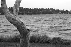 Warners Bay forshore (Tim J Keegan) Tags: australia bw nsw lakemacquarie warnersbay paperbark foreshore