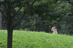 Portland, OR - Washington Park - Oregon Zoo - Africa - Predators of the Serengeti - Cheetah (jrozwado) Tags: northamerica usa oregon portland zoo washingtonpark cheetah predator serengeti africa