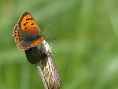 Small Copper (ukstormchaser (A.k.a The Bug Whisperer)) Tags: small copper uk butterfly butterflies animal animals insect insects fly flies wildlife milton keynes broook grass september summer afternoon