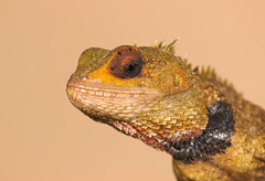 Garden Lizard (Arvind_S) Tags: ngc closeup macro flickr cannon 55250 nature wild