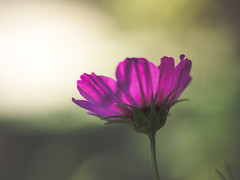 Illuminated (A_Peach) Tags: blume gx8 helios pflanze autumn flower plant panasoniclumixgx8 helios442 pink bokeh dof vintagelens