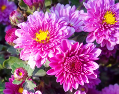 The Mums of Autumn 20161012 (ShockDocCA) Tags: flowers mums autumn frontporch blossom color colorful fall pink yellow green outdoors