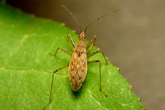True Bug with Spotted Legs (bugldy99) Tags: hemiptera hexapod hexapoda animal arthropod arthropoda insect insecta bug nature outdoors