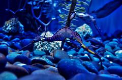 Common (Weedy) seadragon. Toronto, Canada   June 2016 (Temphotto) Tags: ripleys aquarium canada toronto seadragon dragon common weedy underwater high dynamic range hdr cs5 cs adobe photoshop software nikon d40 deep blue flyingdragon