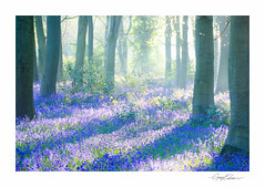 Spring Bluebell Wood (George-Edwards) Tags: landscape bluebell bluebells bluebellwood woodland forest beech trees copse farm spring seasons sunrise sunlight shadow mist fog beams rays countryside rural morning dawn wildlife nature berkshire england georgeedwards photography