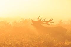 Golden (stephen.darlington) Tags: bushypark surrey sunrise sun golden light stag reddeer misty park bellowing bellow dawn shades orange silhouette animal planet