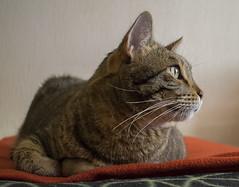 Fender (krilu13) Tags: cat cats gatti gatto animali felini