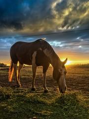 Freckles eating dinner at #sunset (jeffwspencer.com) Tags: ranch farm livestock equine horse sunset