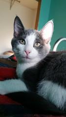 Thumbs (DDA1) Tags: saveapetilorg foster kitten graycat adoption adoptioncenter adoptionshelter adoptable adopt graywhite pinknose love