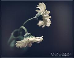 white flowers (evibaumann) Tags: blumen retro fujixt10 fuji xf23 natur vintage