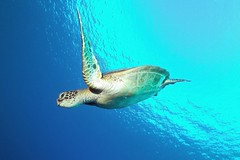 incoming  -  Explored, 10/19/2016 (BarryFackler) Tags: honaunaubay southkona hawaii aquatic hawaiiisland polynesia kona hawaiicounty reef 2016 water honaunau marine westhawaii sandwichislands pacificocean tropical hawaiianislands diving life honu seaturtle cheloniamydas greenseaturtle marinereptile turtle vertebrate cmydas reptile hawaiiangreenseaturtle sea zoology scuba konacoast bigislanddiving nature marineecology organism pacific underwater ecosystem animal diver biology island coralreef outdoor barryfackler sealife bigisland marinelife creature sealifecamera barronfackler dive fauna hawaiidiving ocean undersea ecology seacreature konadiving being marinebiology bay marineecosystem surface explore explored