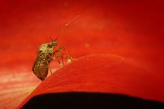 Stink bug and its takeaway lunch (Mika Andrianoelison) Tags: k3 madagascar macro closeup bug nature wildlife fauna animal arthropod stinkbug rostrum pollen flower insect justpentax