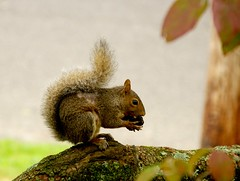 Local squirrel with black walnut (C r u s a d e r) Tags: squirrel walnut dogwood bokeh fuzzball critter treerat pentaxk3 etc