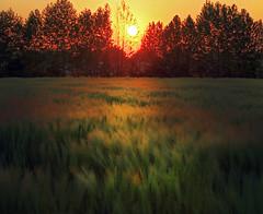 Light wind (Robyn Hooz) Tags: vento wind campo field grano wheat corn tramonto sunset padova disk sun sole disco orange