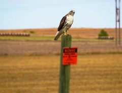 Hawk (pam's pics-) Tags: ks kansas bird hawk redtailedhawk raptor nature natural outside outdoors rural midwest us usa america sonya6000 pamspics pammorris