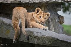 2016-10-06-0096 (BZD1) Tags: nature natura lion leeuw panthera leo pantheraleo carnivore felidae cat bigcat cub lioncub welp kittens baby
