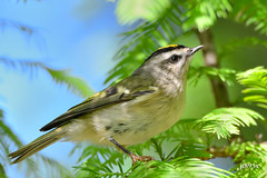 Golden-crowned Kinglet  (regulus satrapa) (jt893x) Tags: 150600mm bird d500 goldencrownedkinglet jt893x kinglet nikon nikond500 regulussatrapa sigma sigma150600mmf563dgoshsms songbird specanimal