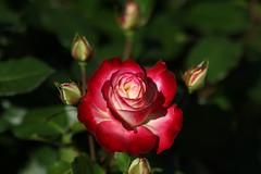 ABG_20161014_16 (alfrd p) Tags: nature flora flowers adelaide botanic garden