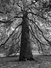 Calderstones' Tree No 1 (Maggie's Camera) Tags: tree calderstones autumn liverpool blackandwhite october2016