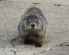 hello (John Rothwell) Tags: groundhog woodchuck yard grandrapids backyard michigan city urban nature birds animals riverside