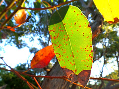 Sunny gum leaves (jo.elphick) Tags: durras australia nsw gumtreeleaves gumtree leaves green red