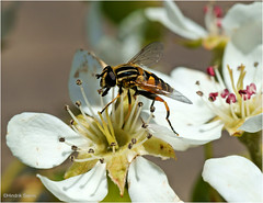 Visitor (Hindrik S) Tags: pearblossom visited hoverfly perenbloesem parreblossem par pear peer sweefmich zweefvlieg insect ynsekt creation skepping schepping white green flower plant tree beam fauna flora light spring maitiid voorjaar lente sonyphotographing sony sonyalpha a57 57 slta57 90mm tamronspaf90mmf28dimacro tamron