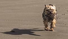 Here comes trouble. (bainebiker) Tags: dog beach borth ceredigion walesuk