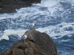 roca (jesust793) Tags: gaviotas pjaros rocas