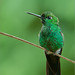 Coppery-headed Emerald Hummingbird