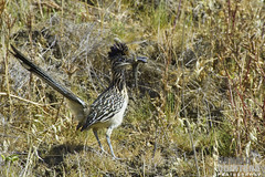 Greater Roadrunner, Geococcyx californianus, eating a Western Fence Lizard, San Luis Obispo, CA (Donald Quintana) Tags: california wild bird nature outdoors wildlife feathers lizard american greater predator runner ornithology sanluisobispo roadrunner californianus geococcyx cuculidae photoofthedaynwf12