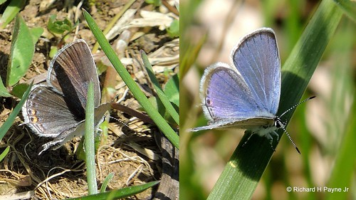 Eastern Tailed-blue_2013-05-041