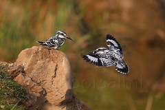pied kingfisher (zahoor-salmi) Tags: camera pakistan macro nature birds animals canon lens photo tv google flickr natural action wildlife watch bbc punjab wwf salmi walpapers chanals discovry beutty bhalwal zahoorsalmi thewonderfulworldofbirds blinkagain