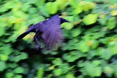The early morning Food Raid (Zoom Lens) Tags: bird birds intelligence sacred mystical crow spiritual crows corvid avian intelligent corvids johnrussellakazoomlens copyrightbyjohnrussellallrightsreserved crowlife