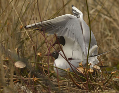 f_hettemake_gull_Chroicocephalus ridibundus_4976 (Ljostad) Tags: bird nature oslo norge gull natur mating fugl ornithology hettemke stensjvannet chroicocephalusridibundus