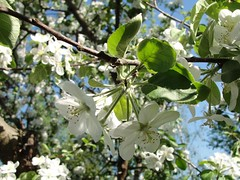 Kwiat jaboni (DanielStar) Tags: flower tree apple garden kwiat lato ogrd 2013 jabo starytarg