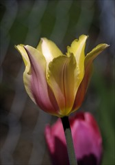 Tulip (SomewhatNorth...) Tags: canada flower spring woodlands pentax alberta tulip stalbert icc kx digikam somewhatnorth