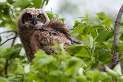 Great Horned Owlet (nancy_gb) Tags: ontario ottawa chick fledgling greathornedowl nesting