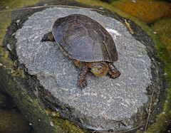 turtle (joybidge (back from vacation)) Tags: turtle turtles sandiegozoo naturepatternscanada trishcanada tsmay152013