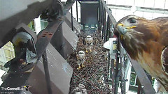 family observation (Cornell Lab of Ornithology) Tags: red bird big nest cams cornell hawks redtailedhawk nestlings labofornithology cornelllabofornithology birdcams