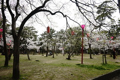 (ddsnet) Tags: travel plant flower japan sony 99  cherryblossom  sakura nippon  kansai  nihon hanami  slt backpackers           wakayamaken     wakayamashi  flowerinjapan singlelenstranslucent 99v