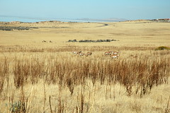 12 - Pronghorns (Scott Shetrone) Tags: animals utah events places antelopeisland mammals 7th pronghorns anniversaries