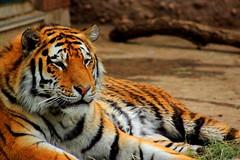 Tiger at Rest (Brandon_Brunswick) Tags: zoo tiger denver