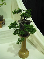 Juniper (Bonsaigirl) Tags: scotland display gardening bonsai caledonian 2013