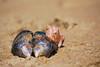 mussel & barnacle (Tantivy_J) Tags: california sea beach coast sand pacific shore mussel barnacle mollusk sandybeach beachcombing bivalve planetocean nikond60