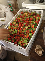 First strawberries of the season! (Plant Chicago) Tags: plant chicago reuse outdoorgarden 2013 verticalfarm