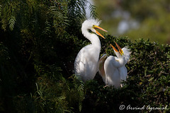 Great Egret Chicks - IMG_7493 (arvind agrawal) Tags: