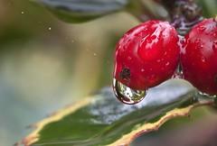 Rain Rain... (Rainer Fritz) Tags: rain garden drop rowan tropfen eberesche sorbusaucuparia rgen