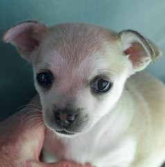 My Girl at 6 Weeks (Photos by Rodney) Tags: chihuahua pup